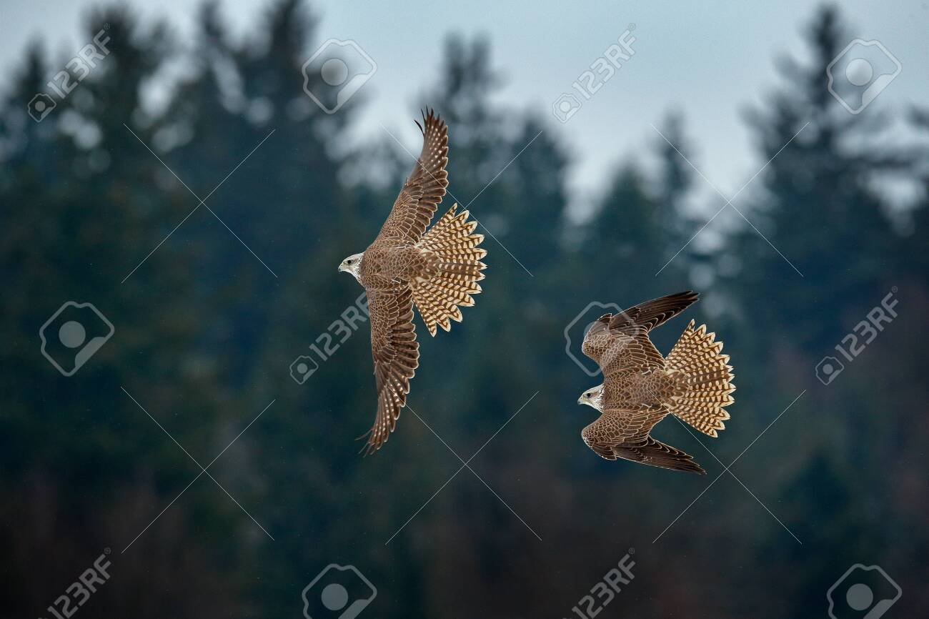 Gyrfalcon, Falco rusticolus, bird of prey fly. Flying rare bird with white head. Forest in cold winter, animal in nature habitat, Russia. Wildlife scene form nature. Falcon above the trees. - 149666134