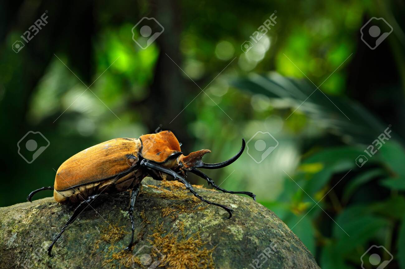 Rhinoceros elephant beetle, Megasoma elephas, big insect from rain forest in Costa Rica. Beetle sitting on stone in the green jungle habitat. Wide angle lens photo of beautiful animal in green jungle - 149792411