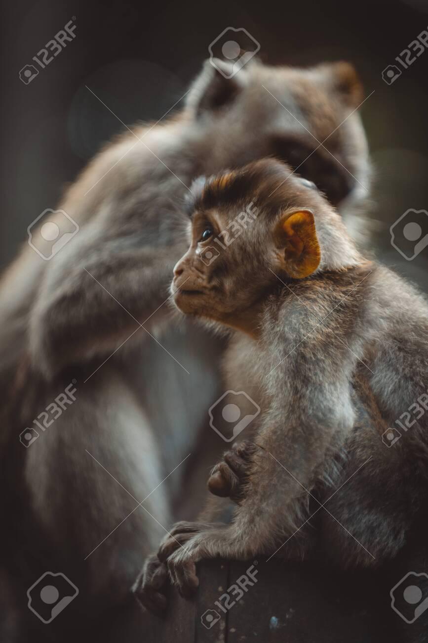 Portrait of an Adult Monkey in Monkey Forest, Ubud, Bali, Indonesia - 127266368