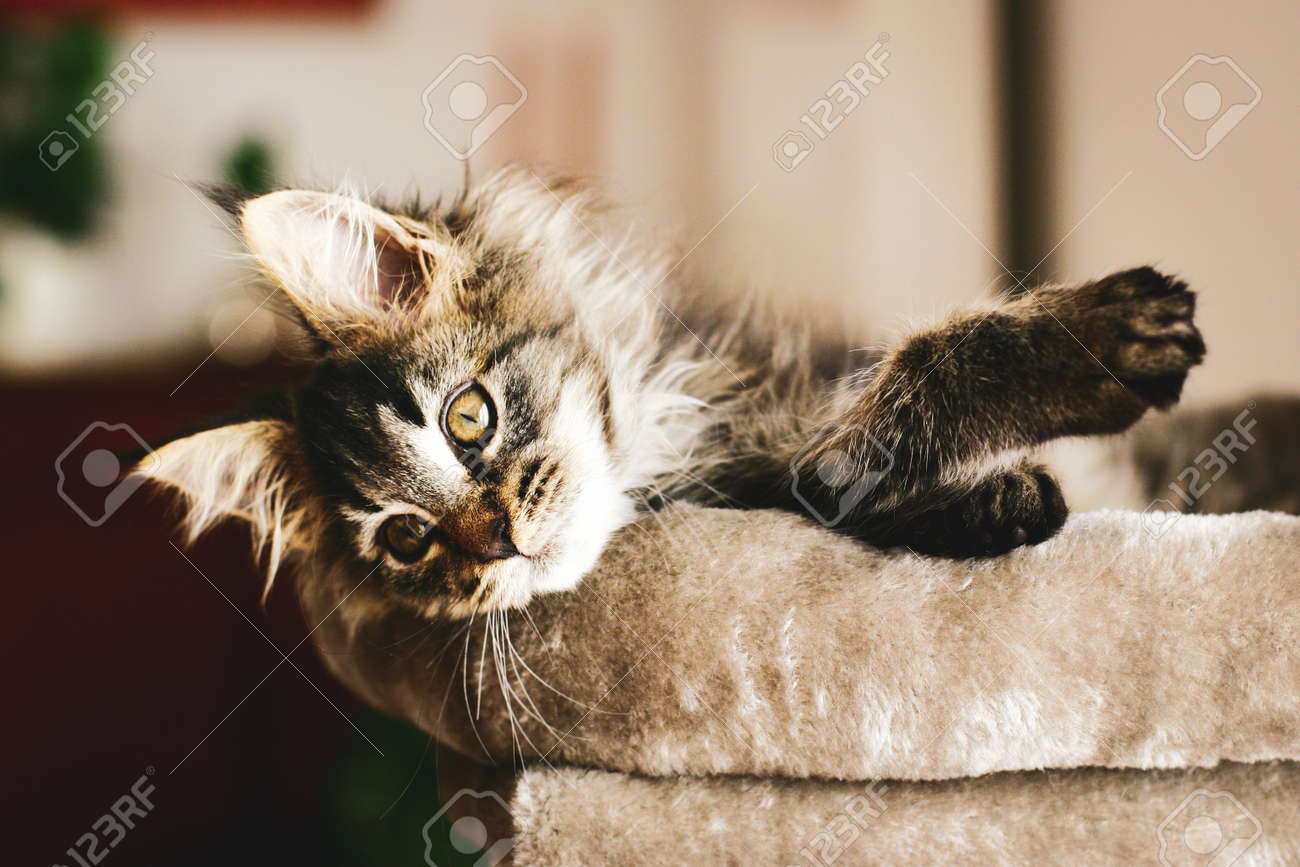Portrait of an adorable furry kitten, lovingly relaxing at home in the warmth on his pillow. - 159376749