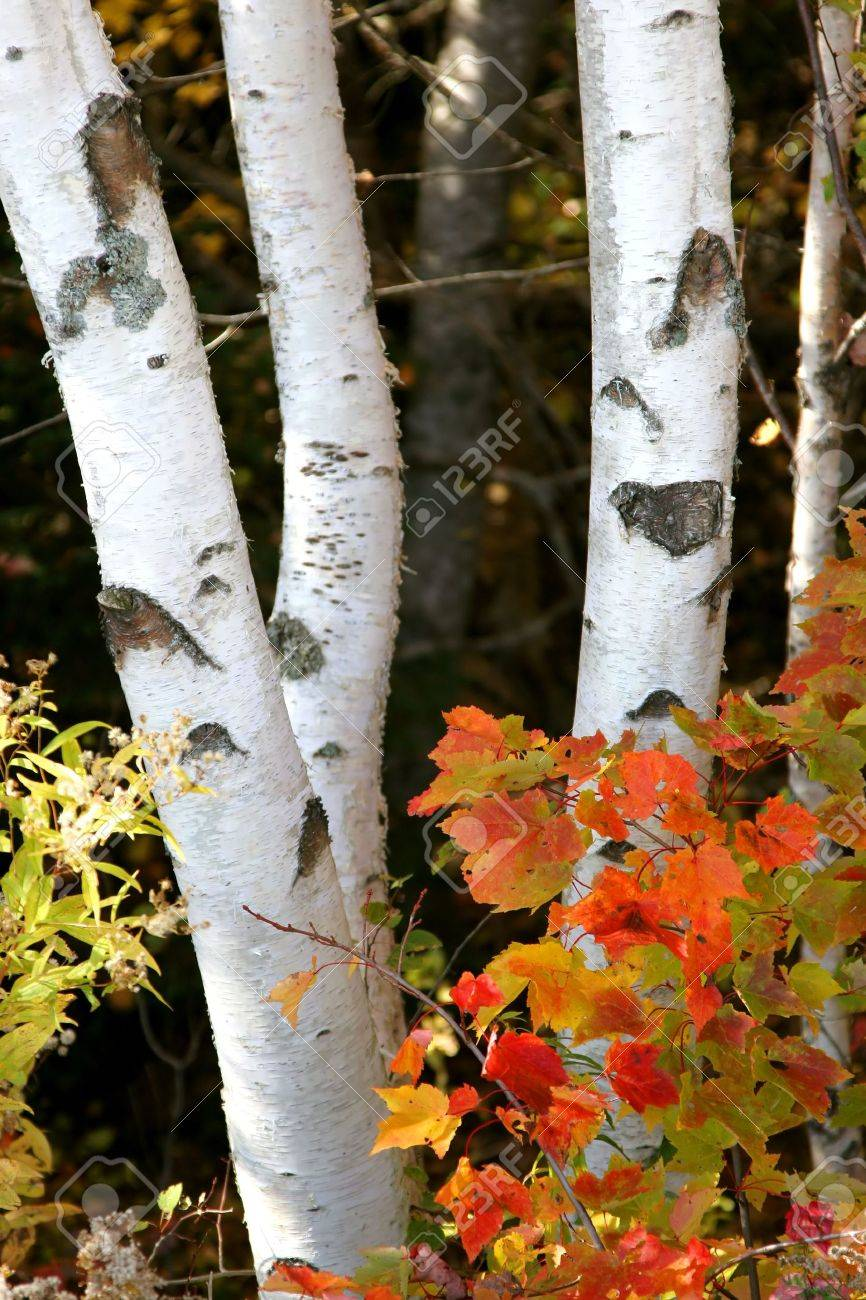 Trunks of birch trees in the autumn forest with bright maple leaves in the foreground. - 3276807