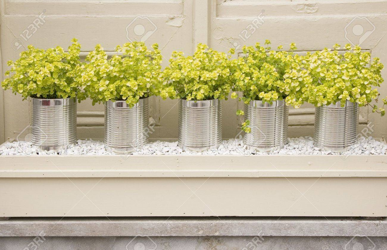 A row of yellow colored herbs potted up in tin cans. - 5555640