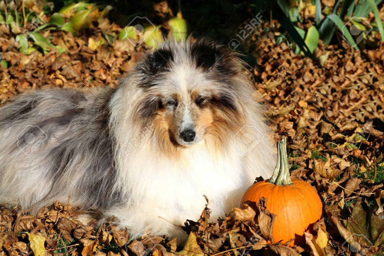 A shetland sheepdog laying in the fallen leaves. - 5555642