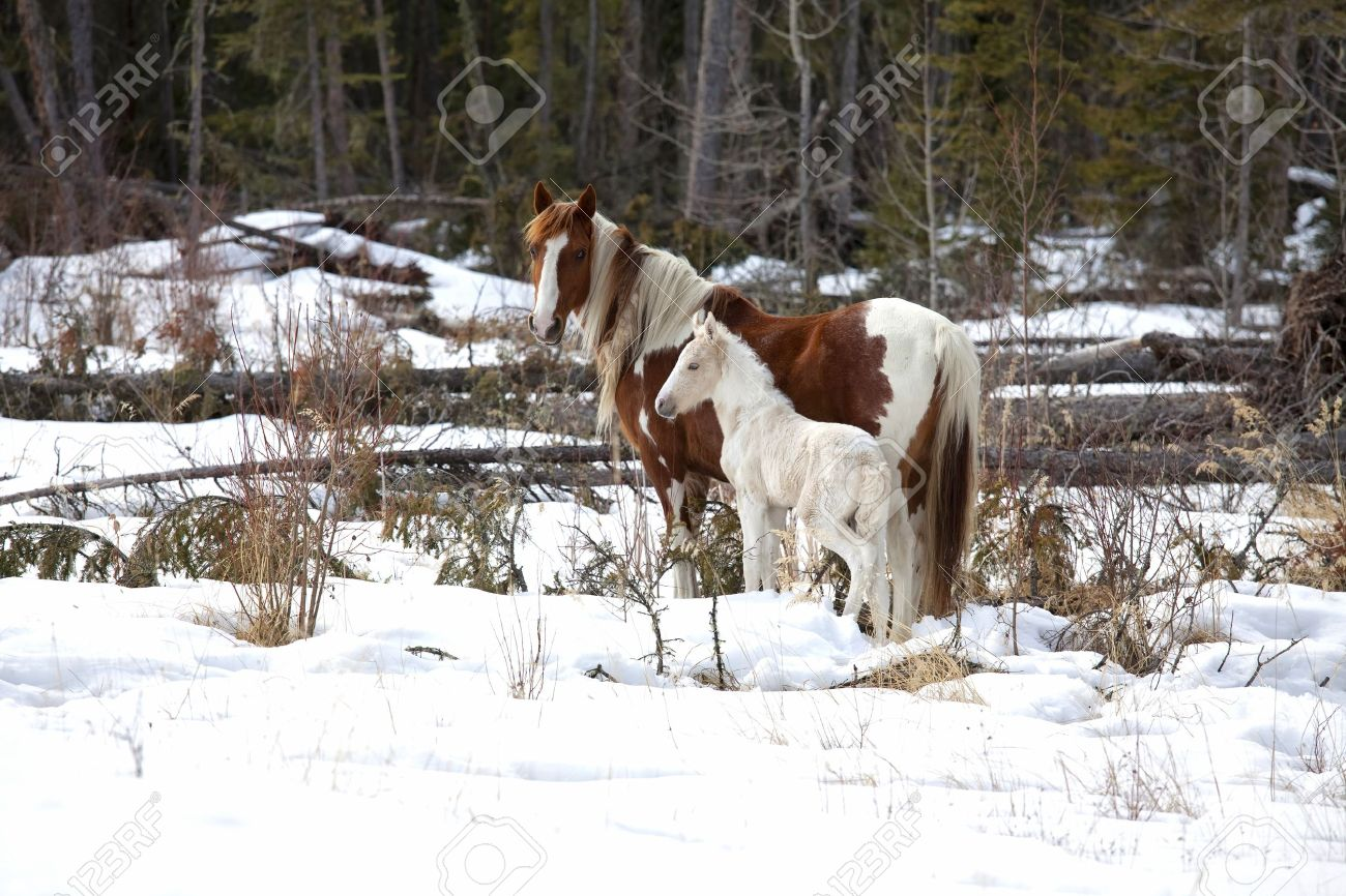 Wild horses, a pinto mare and a white foal in the wilderness of northern Alberta, Canada. - 9326009