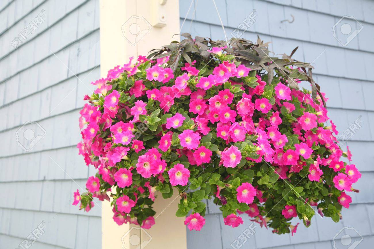 A Vibrant Hanging Basket Full Of Purple Petunias Hanging Outside