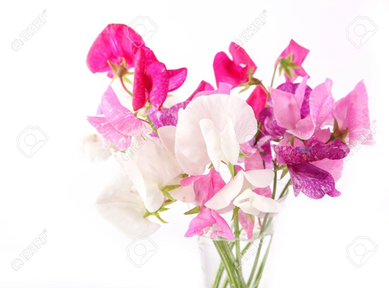 Sweet pea flowers in a glass vase. - 10644317
