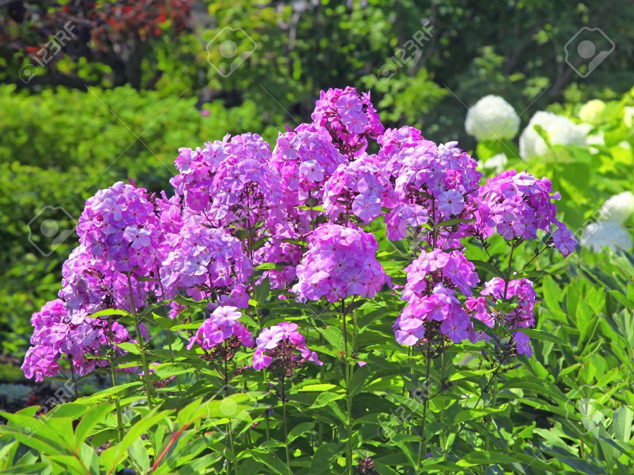 Tall pink perennial phlox in the summer garden stock photo picture stock photo tall pink perennial phlox in the summer garden mightylinksfo