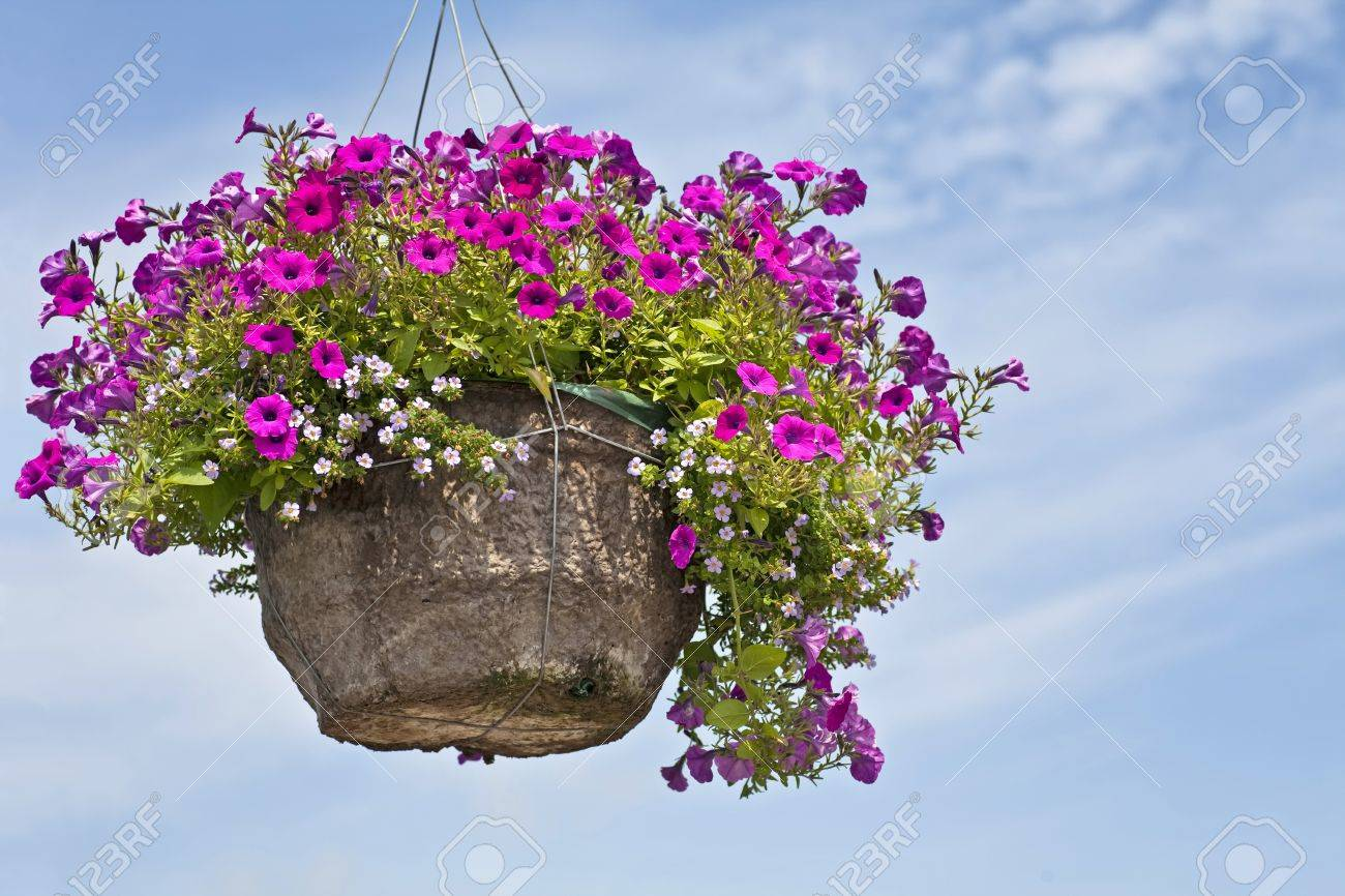 A large fiber hanging basket full of vibrant purple petunias against a blue sky. Stock Photo - 13041386