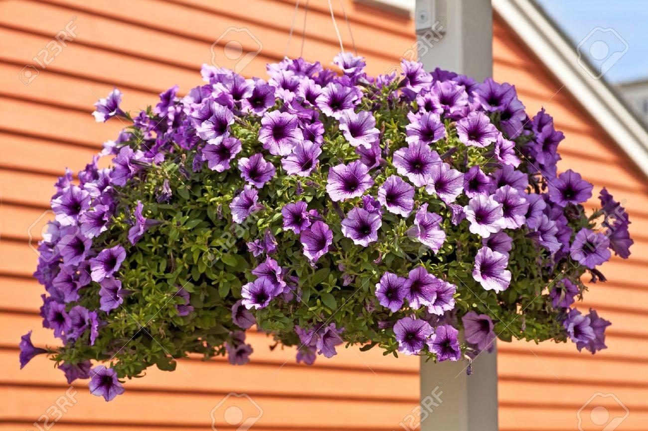 A hanging basket full of purple petunias Stock Photo - 13129964