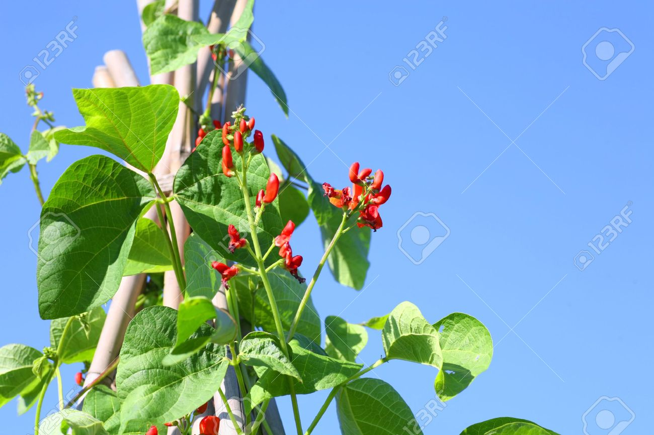 Scarlet runner beans grown on a triangular pyramid shaped bamboo frame. Stock Photo - 14050329