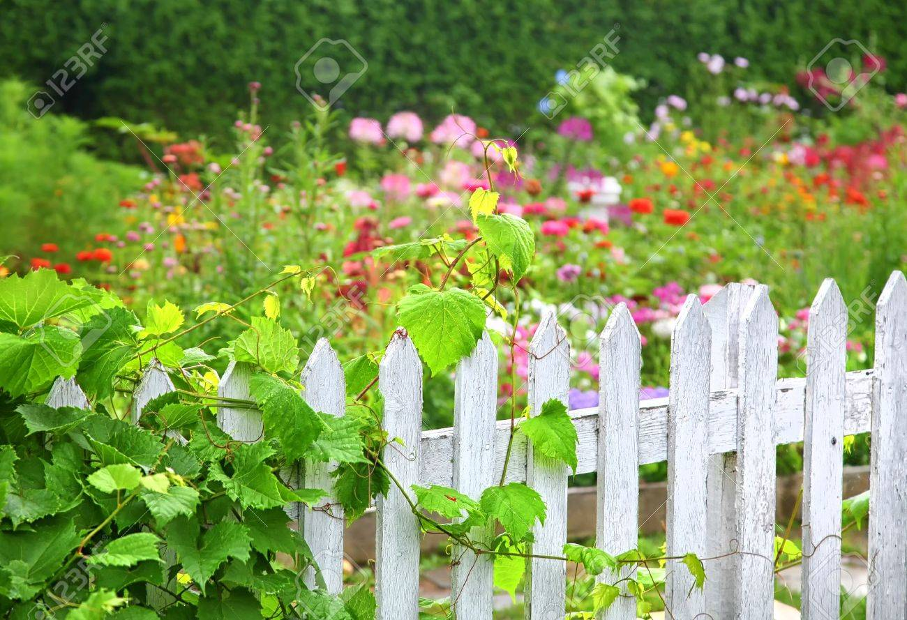 A grape vine growing on an old white picket fence surrounding a flower garden. Stock Photo - 15504536