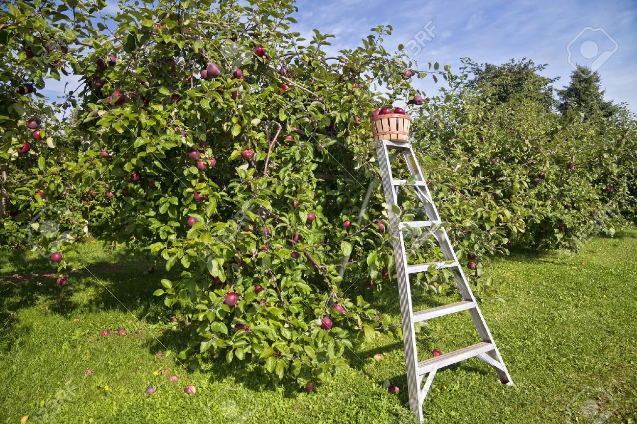 Basket of fresh apples on a picking ladder in a farm apple orchard in the fall. Stock Photo - 15737103