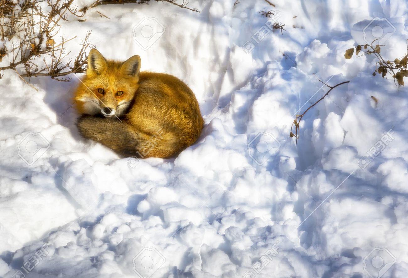 a wild fox sleeping in a urban garden in winter stock photo