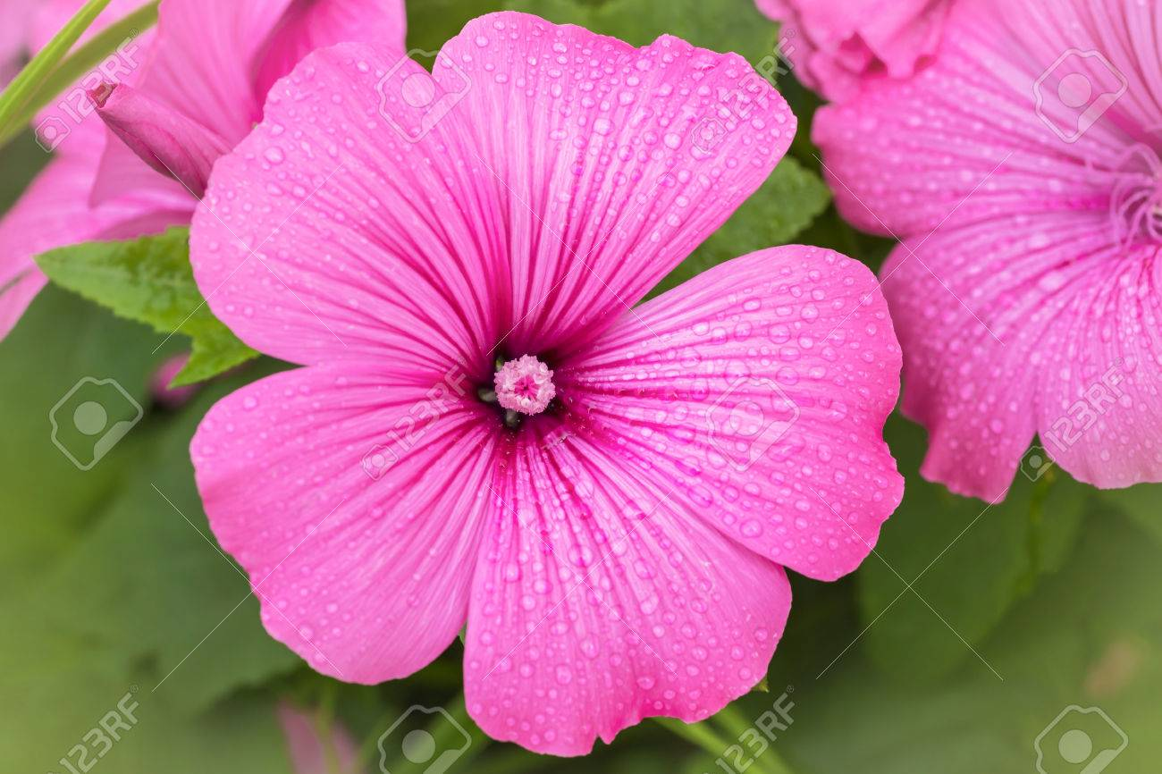 Rose Mallow in the home garden. Stock Photo - 28037857