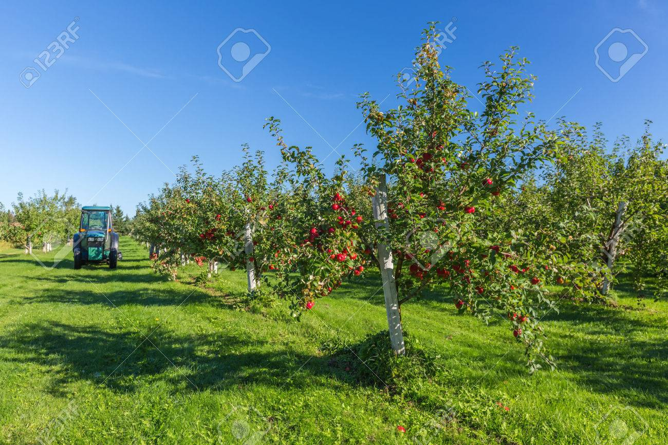 Trees with ripe red apples in a farm's apple orchard. Stock Photo - 43554393