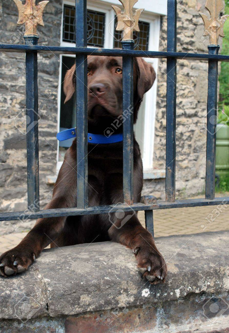Chocolate Labrador waiting for owner behind a fence Stock Photo - 7964620