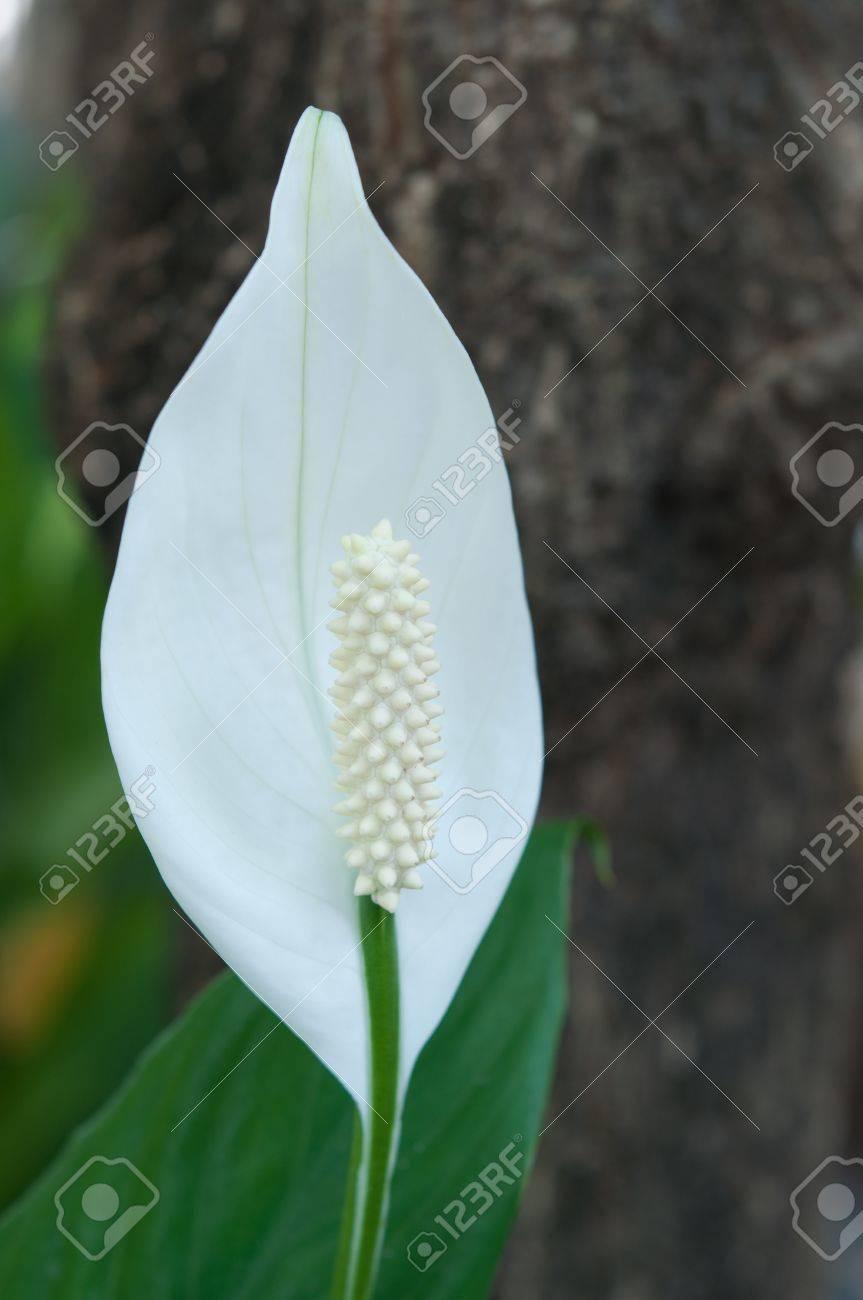 A thai single petal white flower stock photo picture and royalty a thai single petal white flower stock photo 9073004 mightylinksfo