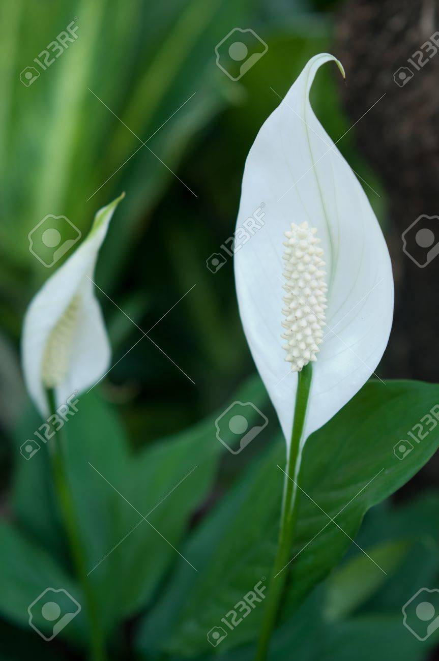 Thai single petal white flowers stock photo picture and royalty stock photo thai single petal white flowers mightylinksfo