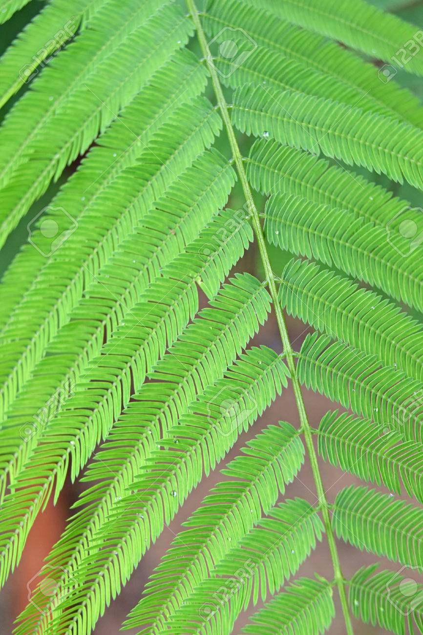 light green leaves of climbing wattle tree acacia pennata l