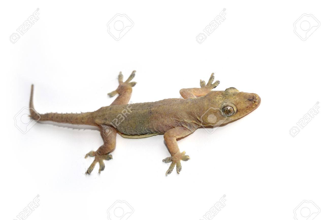 house gecko or half-toed gecko or house lizard isolate on white