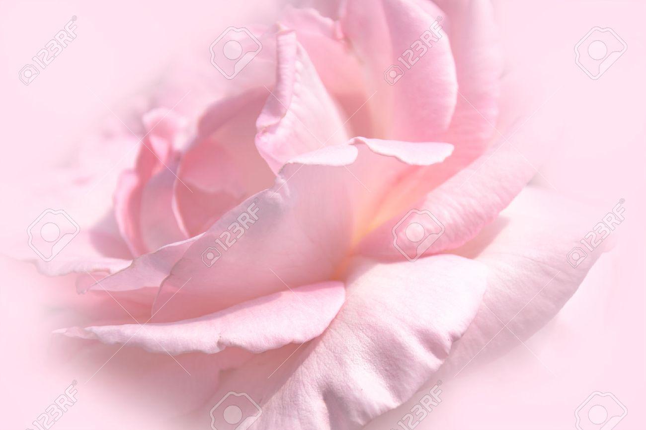 背景と壁紙のクローズ アップ花のピンクのバラの花柔らかい色スタイル