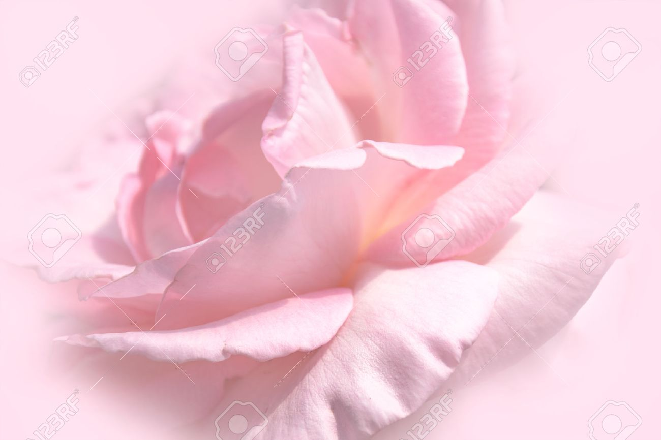 Close Up Floral Pink Rose Flower Soft Color Style For Background