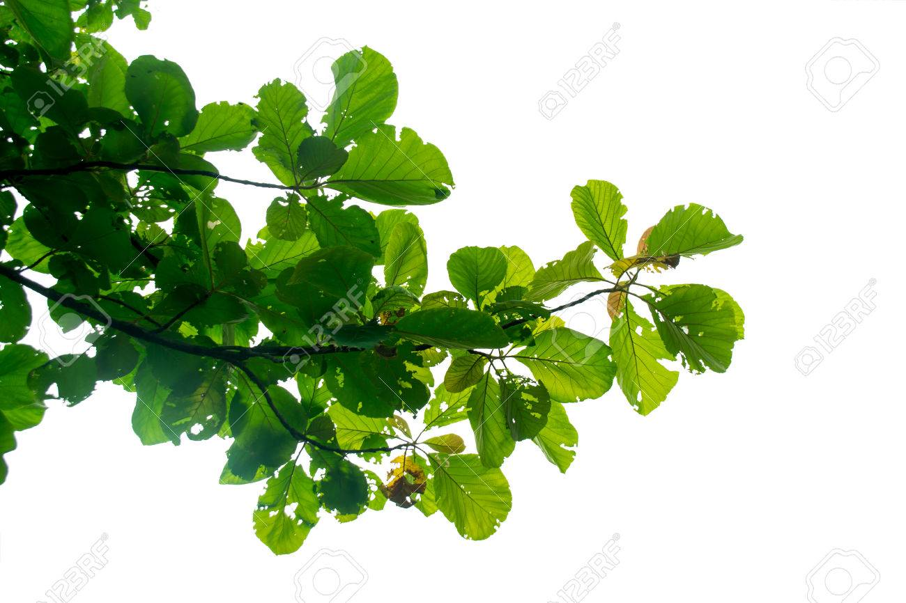 Teakbaum blatt  Grünes Blatt Teak Baum Auf Den Zweigen Isolieren Auf Weißem ...