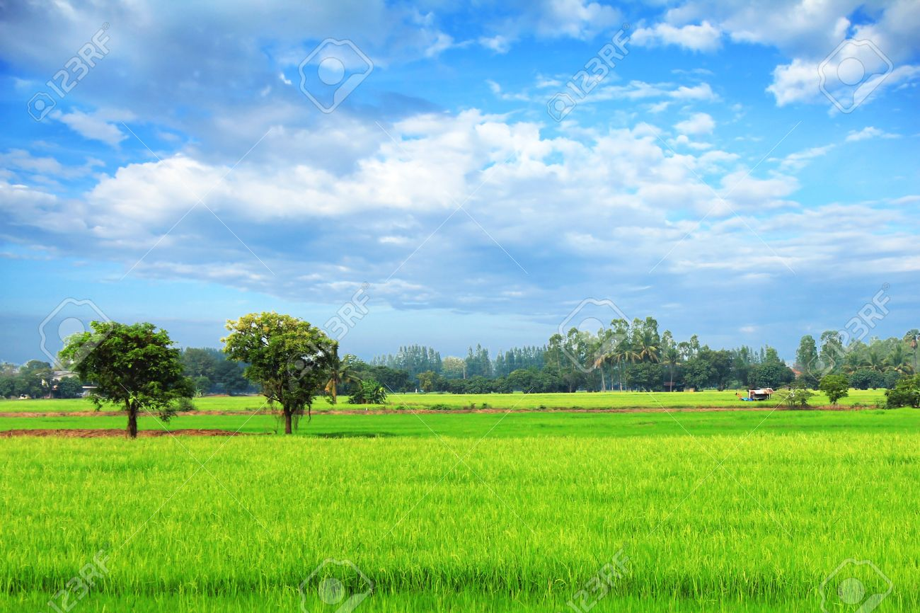 Rice field green grass blue sky cloudy landscape background Stock Photo -  13323511 - Rice Field Green Grass Blue Sky Cloudy Landscape Background Stock