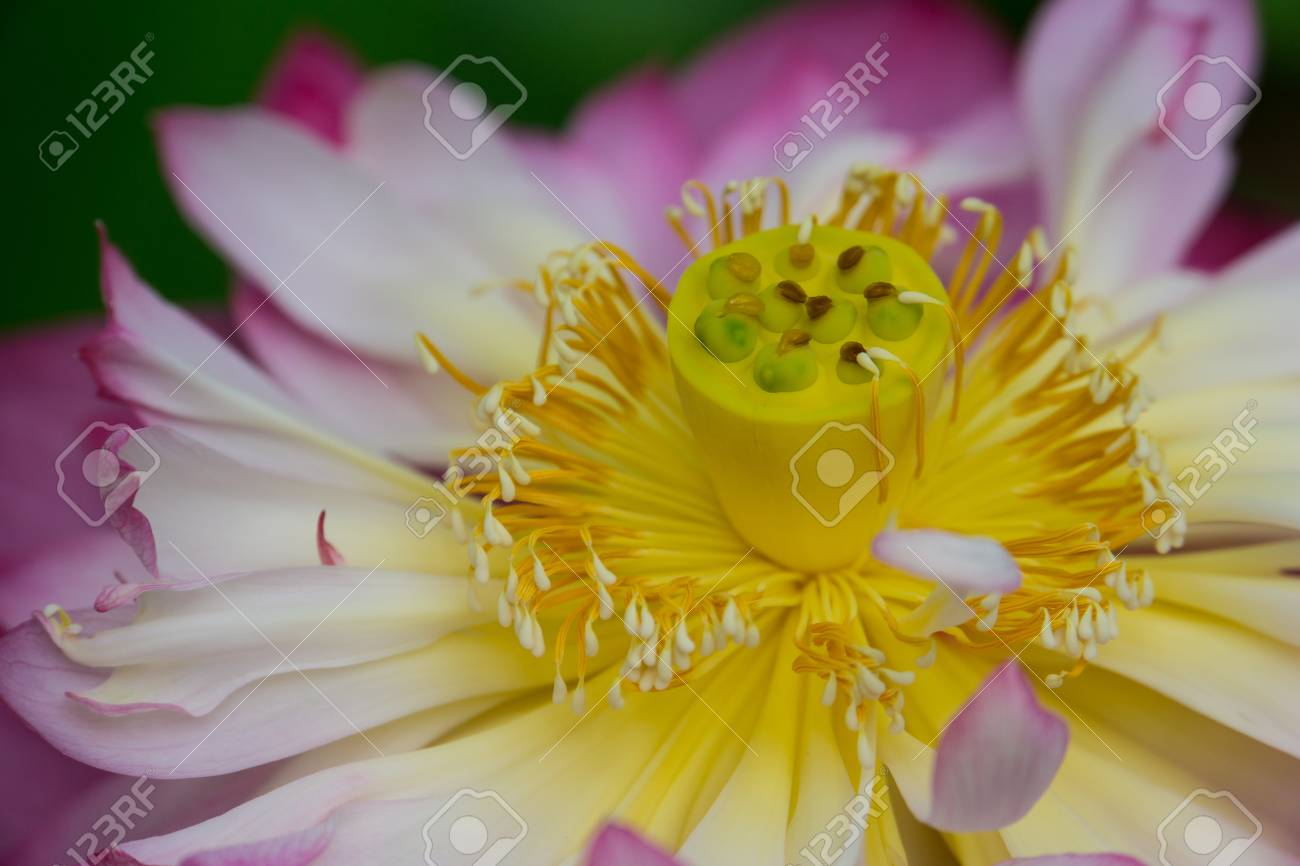 Amazing Closeup View Inside The Blossom Of A Yellow And Pink Stock