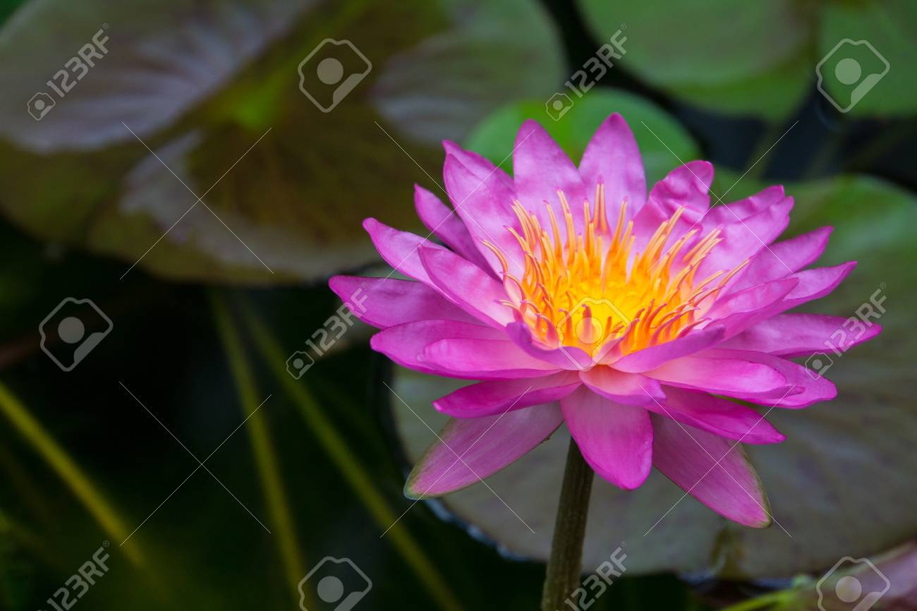 Huge pink blossom of a lily flower with yellow core at springtime huge pink blossom of a lily flower with yellow core at springtime stock photo 99167571 izmirmasajfo