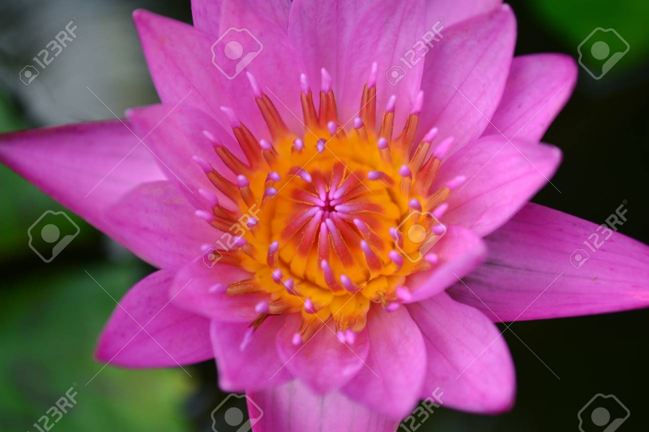 Closed Up Lotus Stock Photo Picture And Royalty Free Image Image