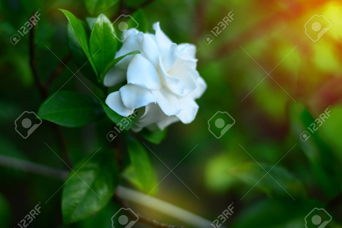 The white cape jasmine flower withsunlights in the morning stock stock photo the white cape jasmine flower withsunlights in the morning izmirmasajfo