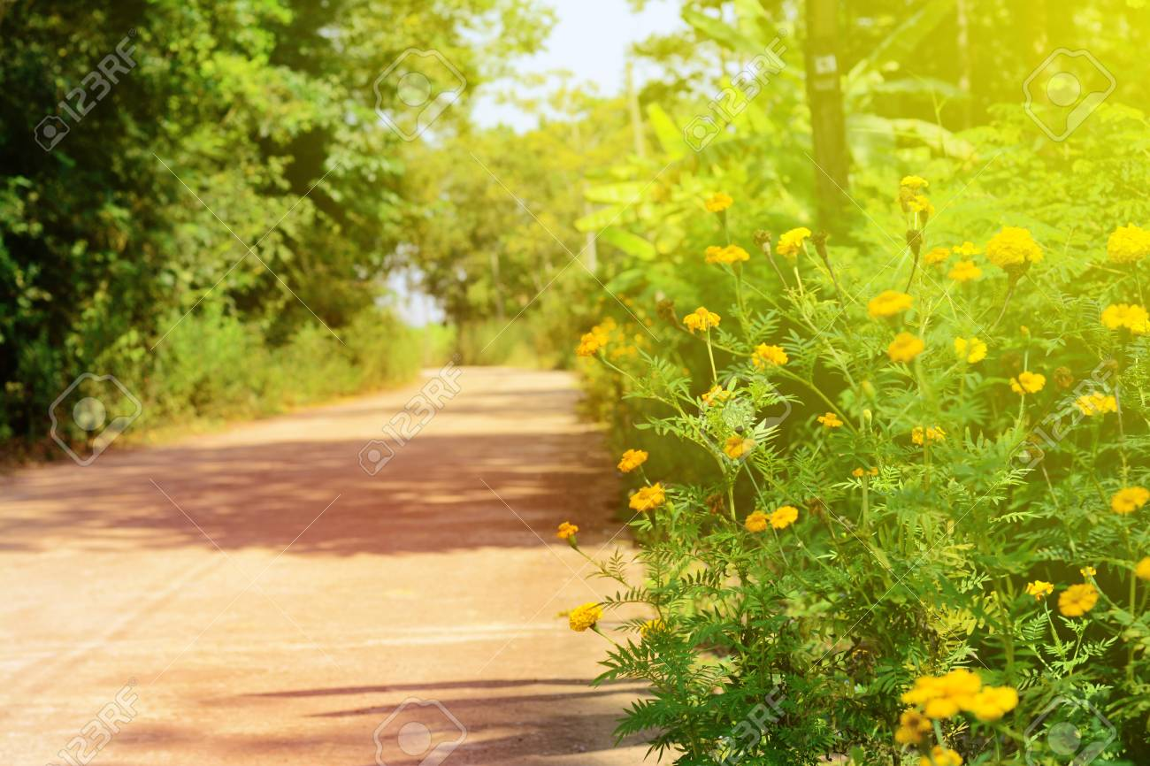 The Yellow Flowers And Sun Light Beside The Road Stock Photo