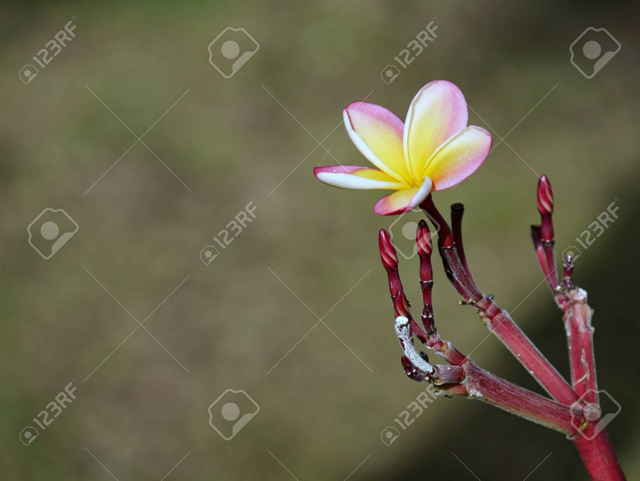 Single yellow and pink plumeria flower plumeria is a tropical single yellow and pink plumeria flower plumeria is a tropical flower usually used as garlands or mightylinksfo