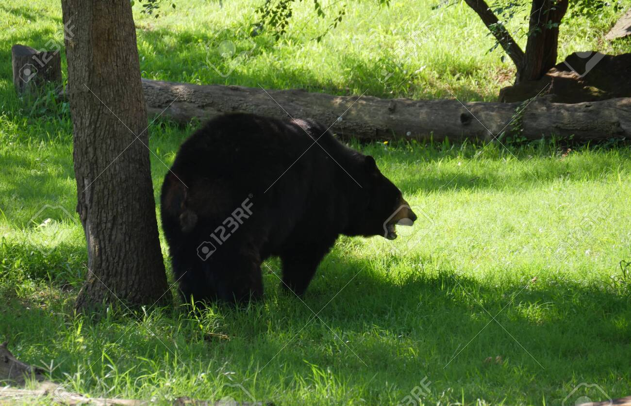 Big Black Bear Standing Close To A Tree Stock Photo Picture And Royalty Free Image Image 132977787