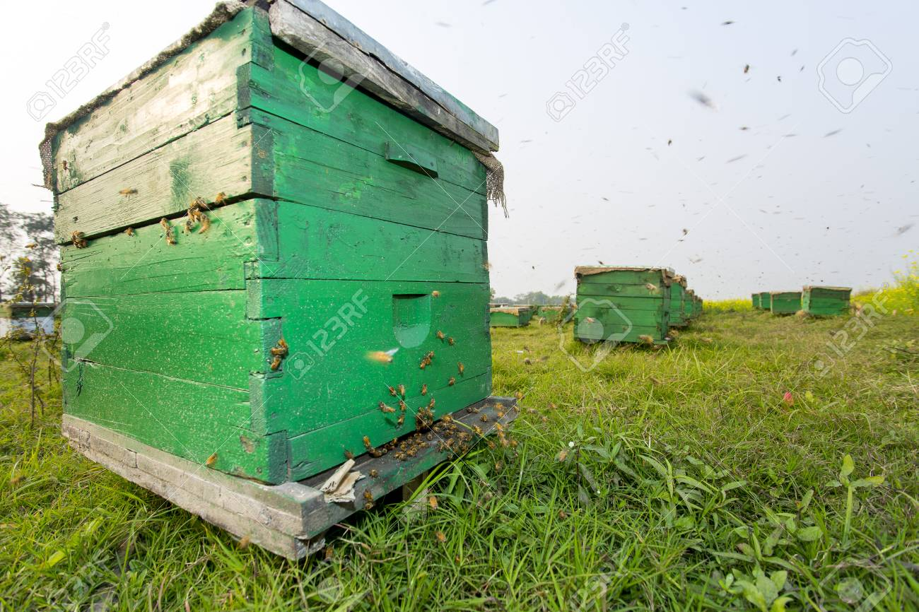 Honey bees flying in and out of commercial beekeeping beehives,