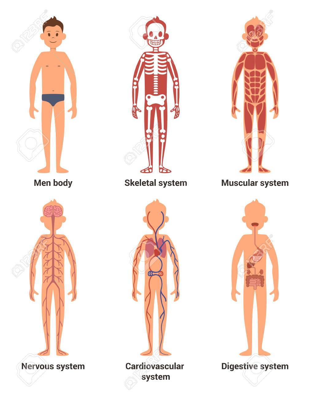 Body anatomy of men. Nerves and muscular systems, heart and other organs. Vector illustration set - 76736510