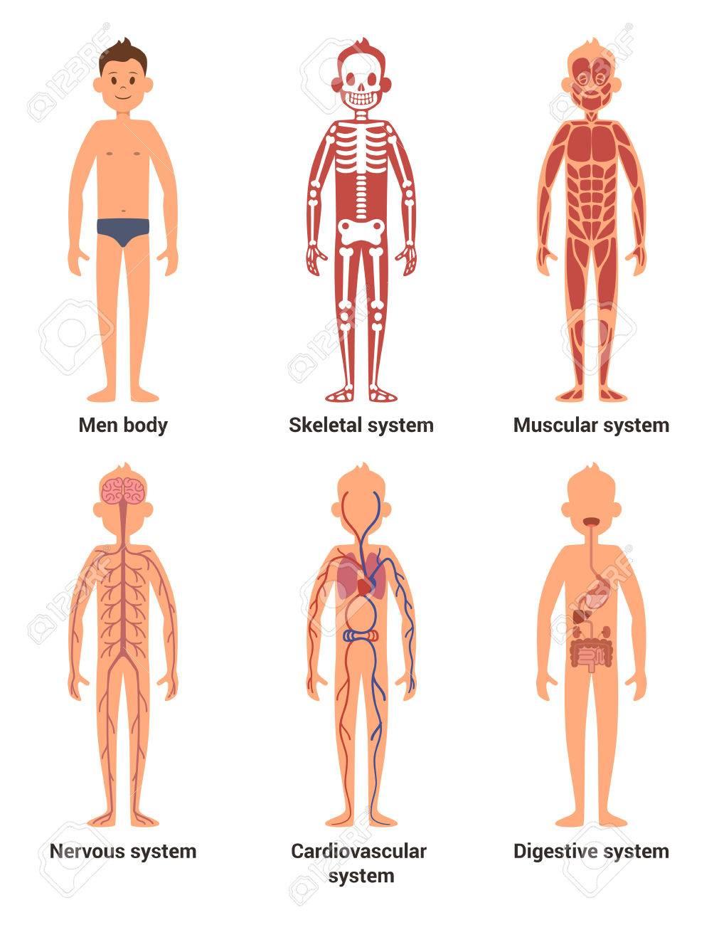 Anatomía Corporal De Los Hombres. Nervios Y Sistemas Musculares ...
