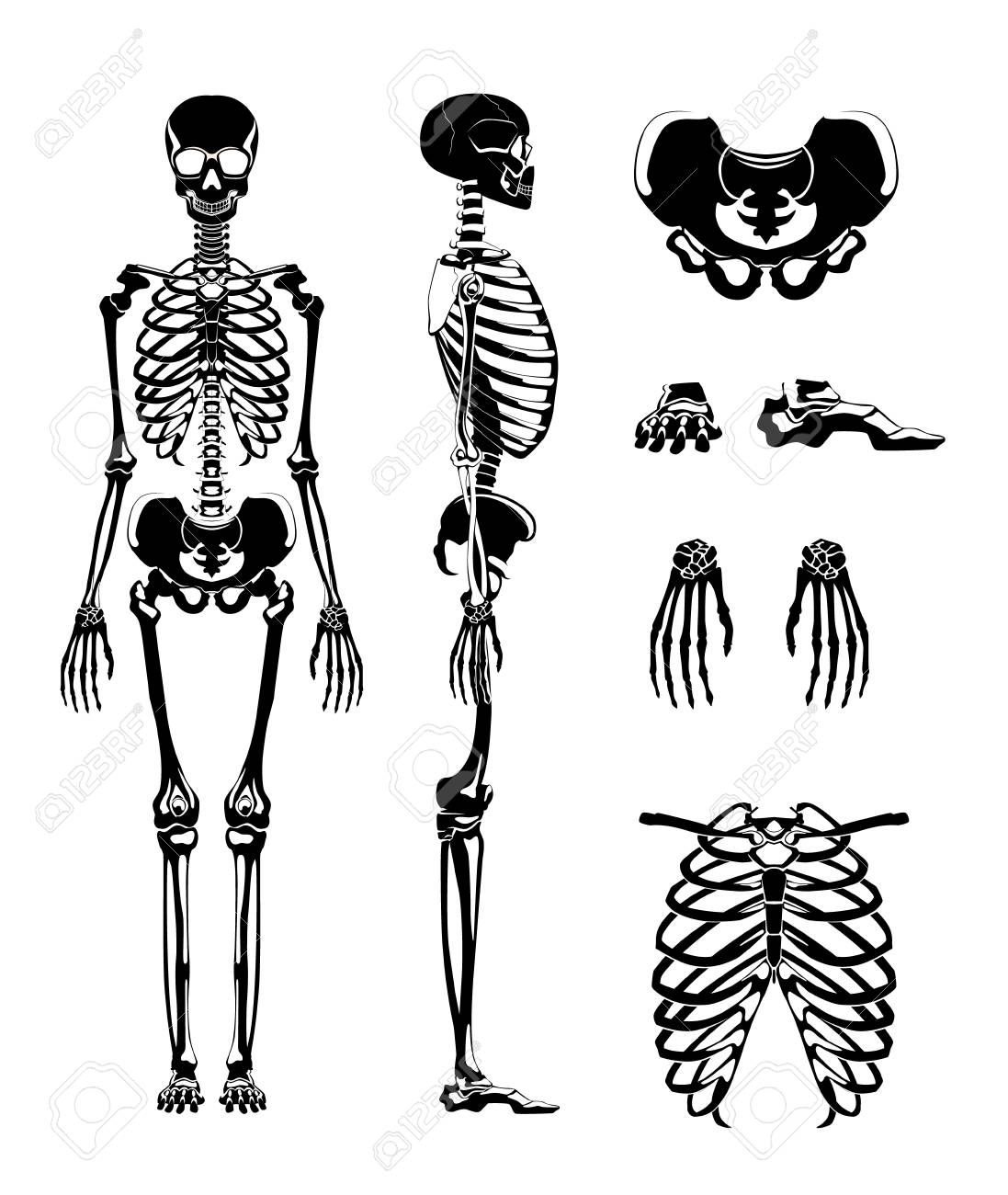 Vector Silhouette Of Human Skeleton Anatomy Pictures Different