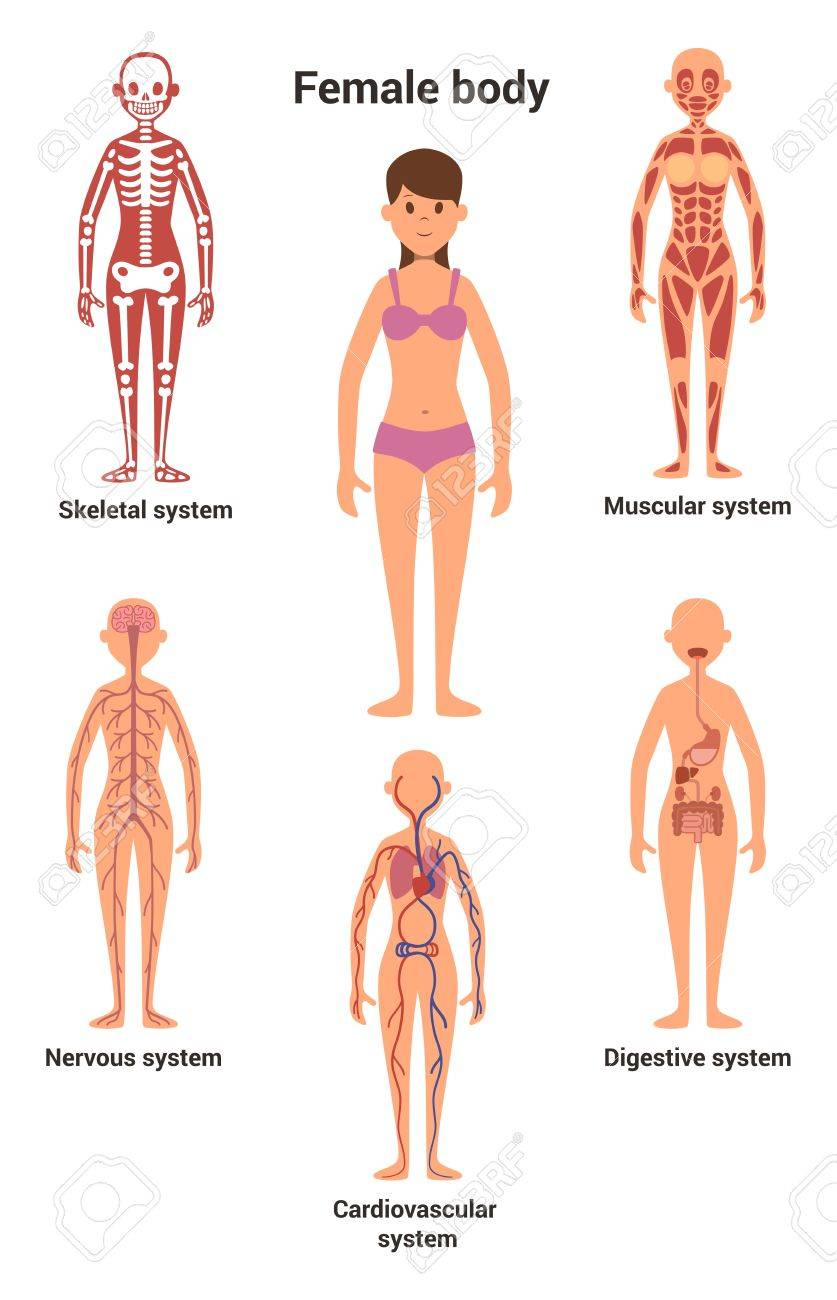 Anatomie Corps Humain Femme corps de la femme. anatomie humaine. système squelettique et