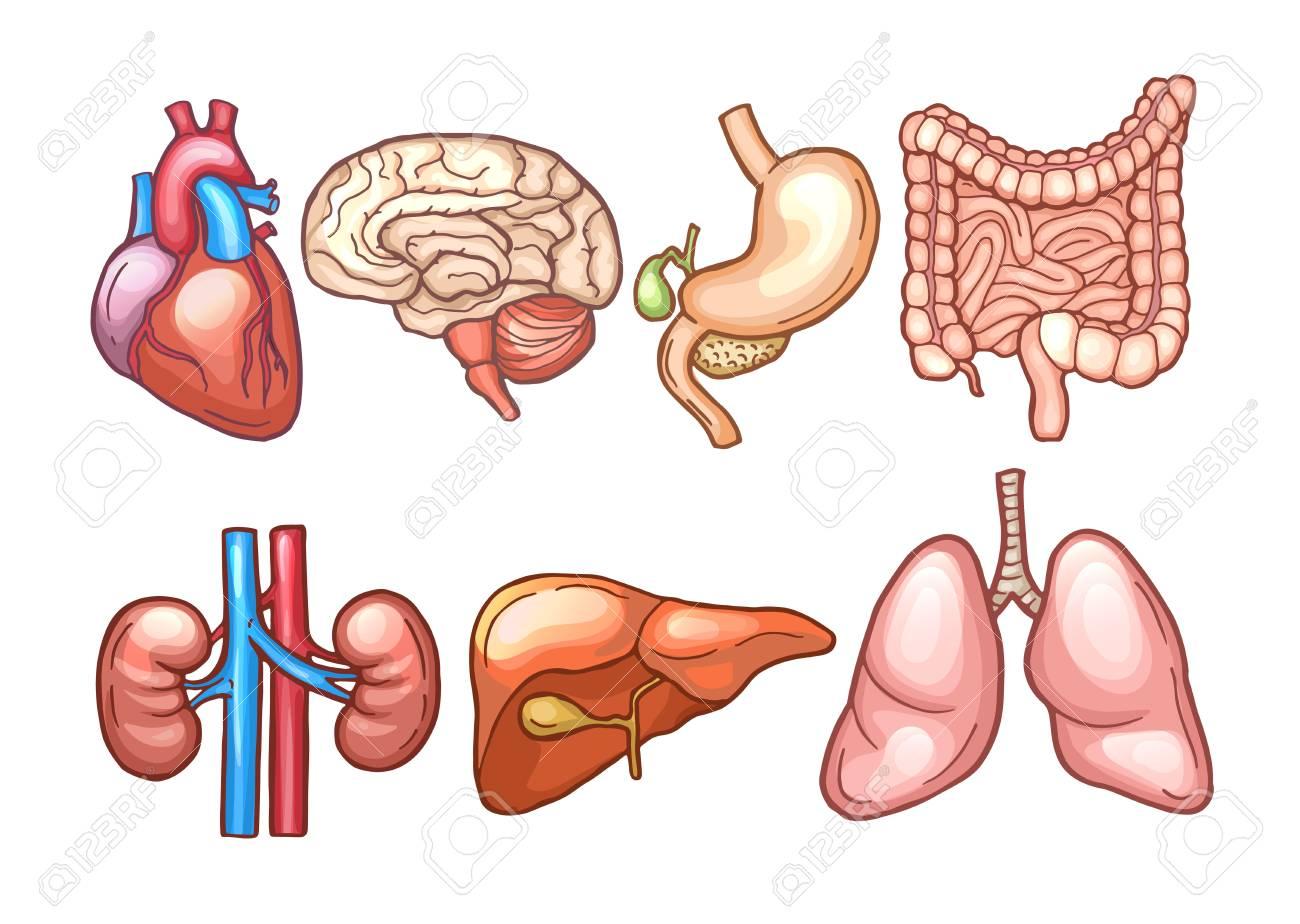 Human Organs In Cartoon Style. Biology Illustrations Royalty Free ...