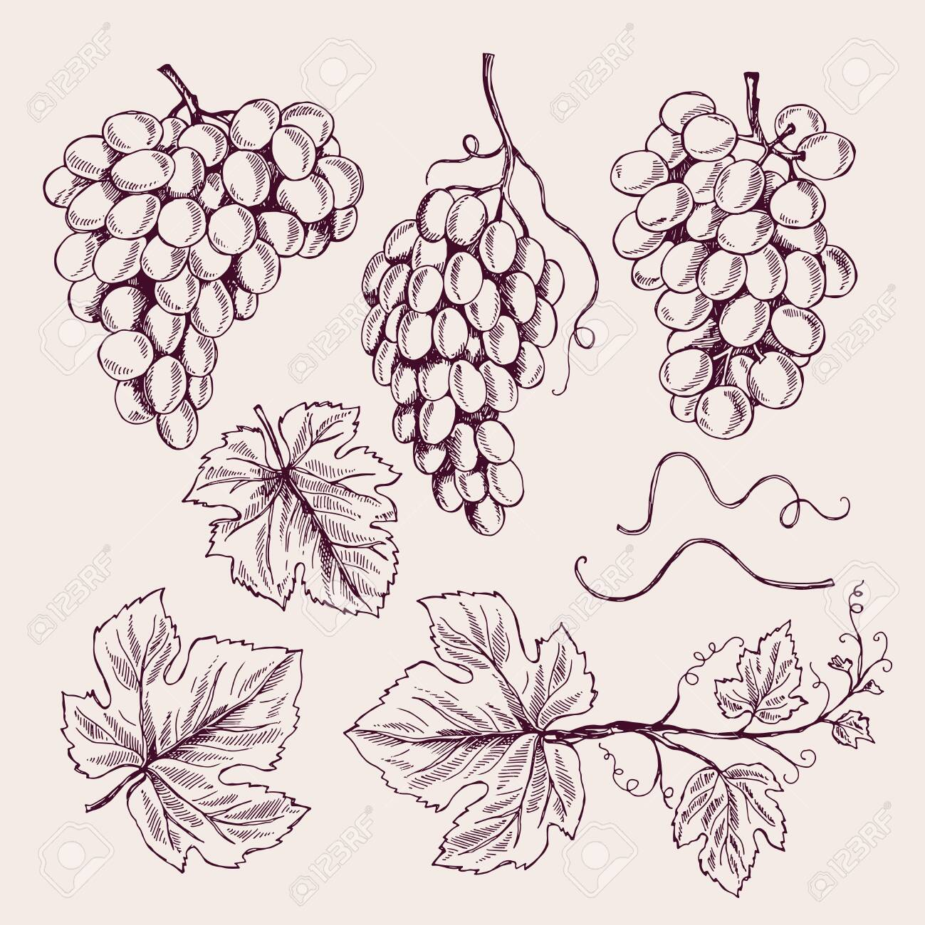 Grape Hand Drawn Vine Leaves And Branch Tendrils Vintage Vineyard Royalty Free Cliparts Vectors And Stock Illustration Image 127870006