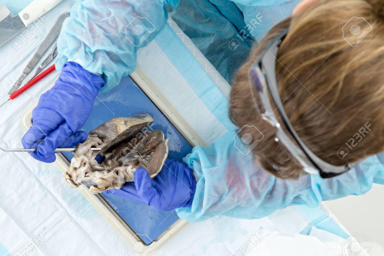 Estudiante De Medicina Examinar Un Corazón Ovejas Durante Las Clases ...
