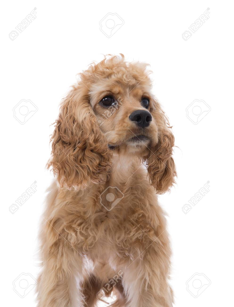 Close Up Partial Frontal Portrait Of A Golden Cocker Spaniel Stock Photo Picture And Royalty Free Image Image 91010031