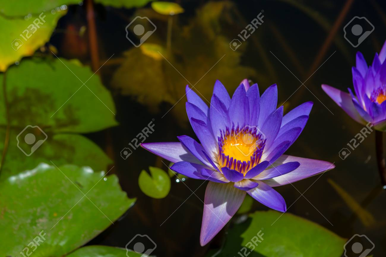 Purple Lotus Flower And Green Leaves Floating On Water Surface