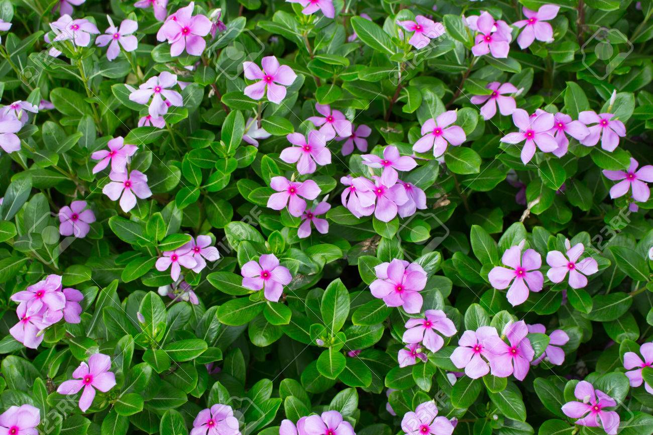 Madagascar Or Periwinkle Or Vinca Flower Catharanthus Roseus Stock
