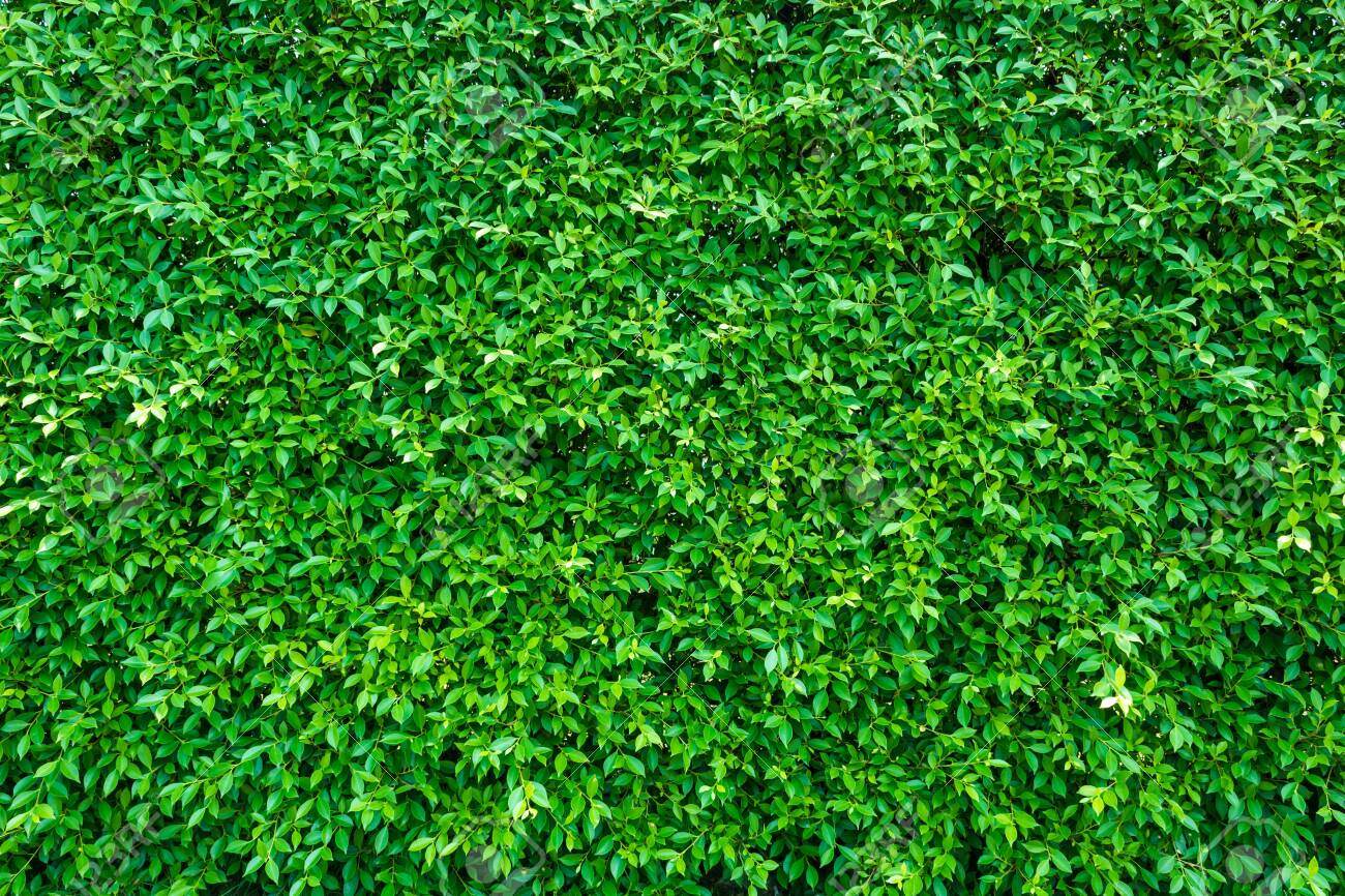 Green leaves background or the naturally walls texture Ideal for use in the design fairly. - 128640575