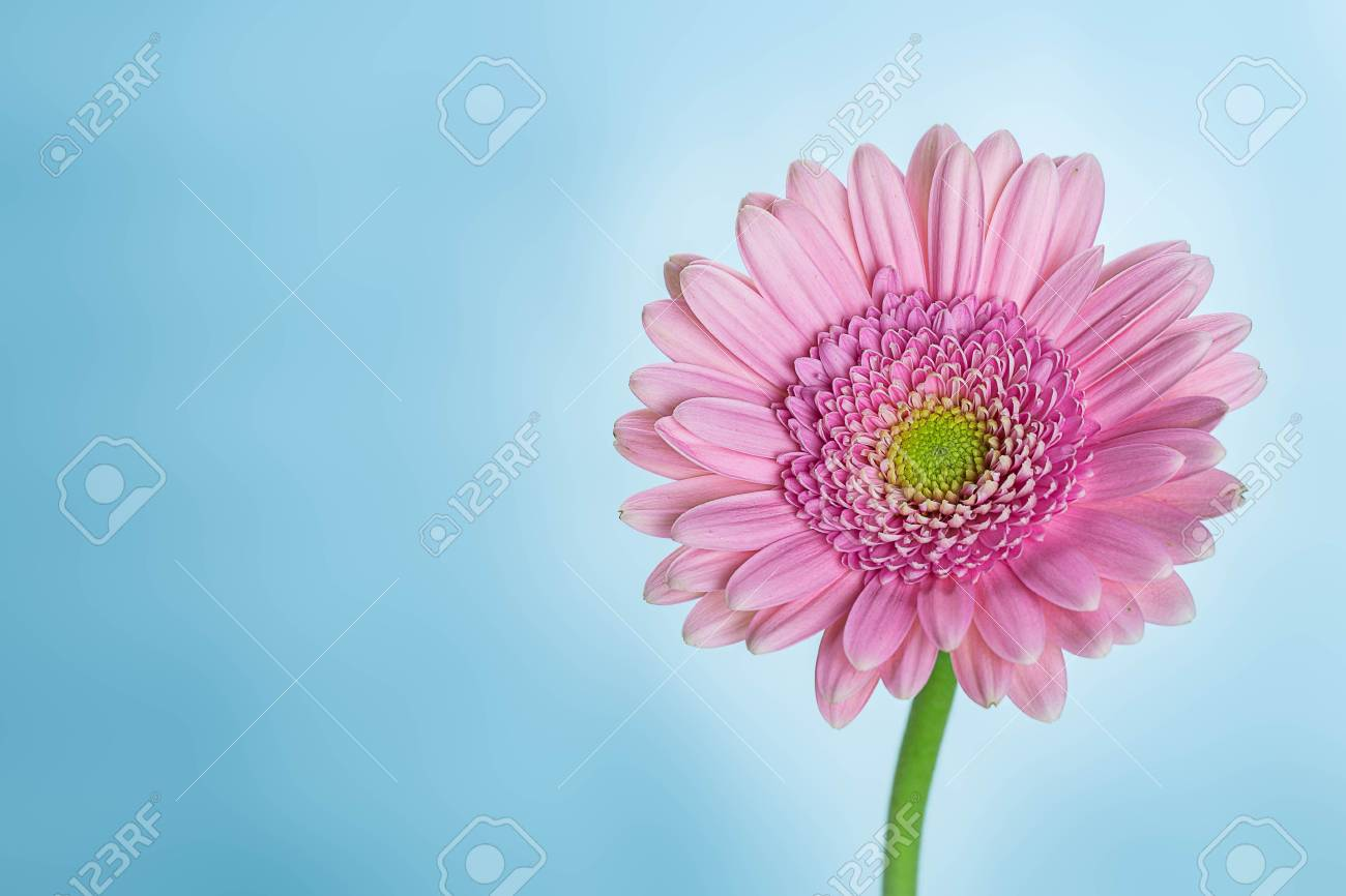 Dahlia Fall Designwith Copy Space Floral Background With Blue