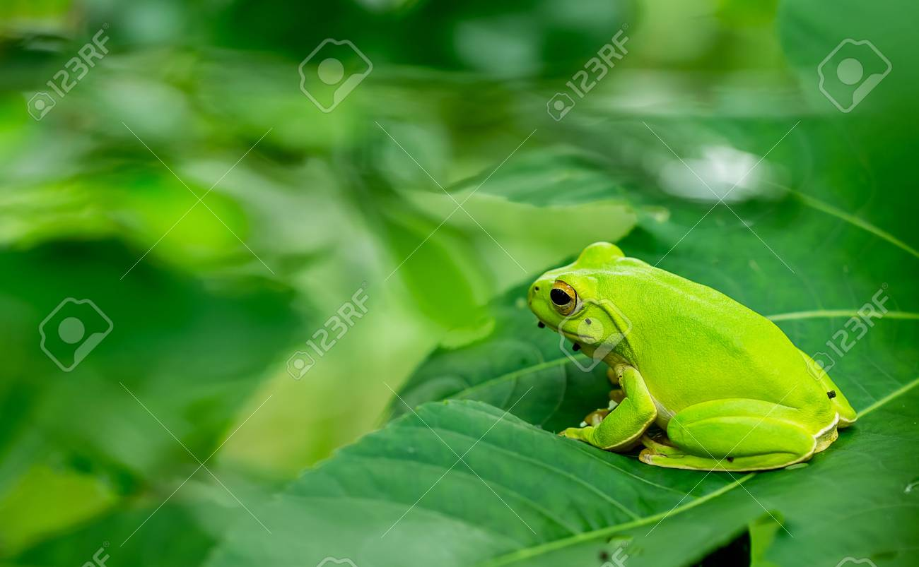 Grenouille Costa Rica eyed rainette ou bariolé grenouille feuille ou agalychnis callidryas