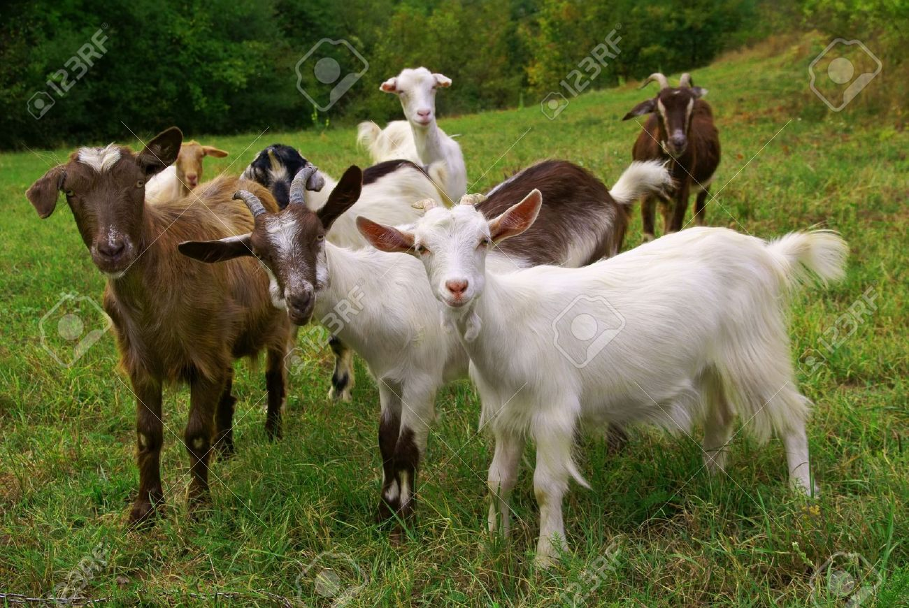 herd of goats on mountan meadow stock photo picture and royalty